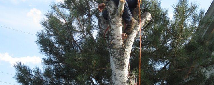Over Mature Grey Birch