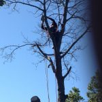 Full Removal of Norway Maple 9