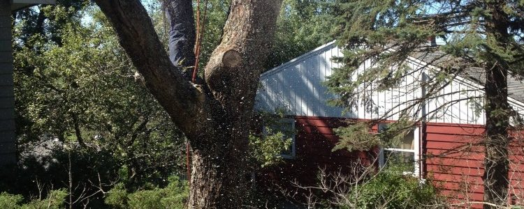 Full Removal of Norway Maple