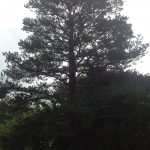 Complete Removal of Large Pine 1
