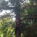 Complete Removal of Large Pine 2