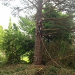 Complete Removal of Large Pine 3