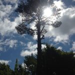 Complete Removal of Large Pine 4