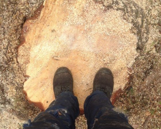 Complete Removal of Large Pine