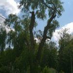 Monster Willow 5