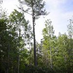 Monster White Pine Full Removal 11