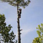 Monster White Pine Full Removal 12