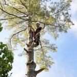 Monster White Pine Full Removal 14