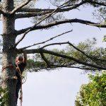 Monster White Pine Full Removal 2