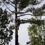 Monster White Pine Full Removal 3