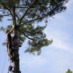 Monster White Pine Full Removal 4