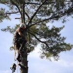 Monster White Pine Full Removal 5