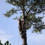 Monster White Pine Full Removal 6