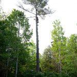 Monster White Pine Full Removal 7