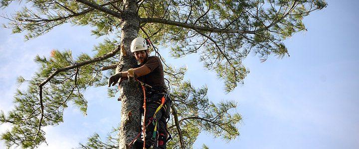 Monster White Pine Full Removal