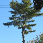Another Monster White Pine 11