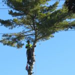 Another Monster White Pine 10