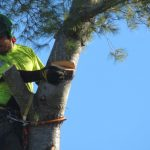 Another Monster White Pine 9