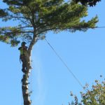 Another Monster White Pine 8
