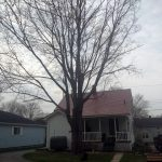 Full removal of Sugar Maple 2