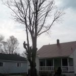 Full removal of Sugar Maple 3