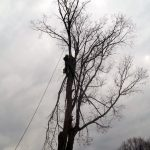 Full removal of Sugar Maple 11