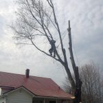 Full removal of Sugar Maple 10