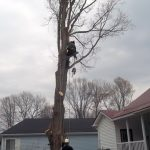Full removal of Sugar Maple 7