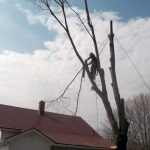 Full removal of Sugar Maple 6