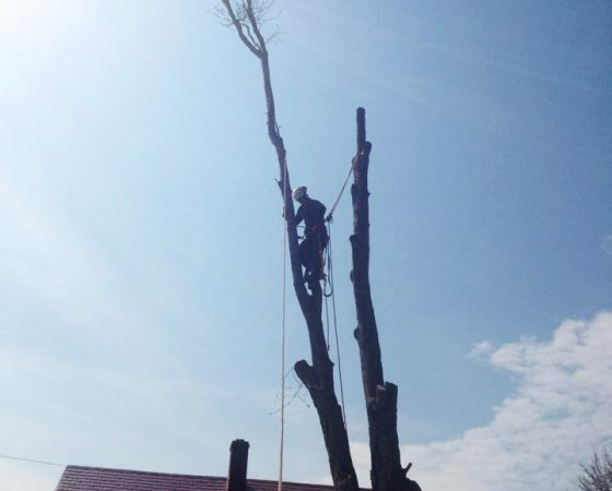 Full removal of Sugar Maple